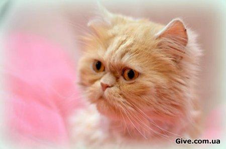 Персидский котик Гиви ищет дом!