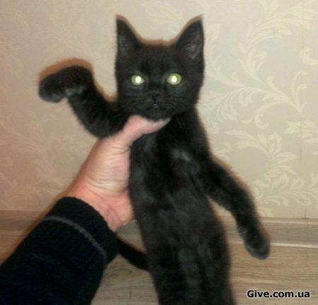 Кошеня. Мати Британка. Окрас чорний.