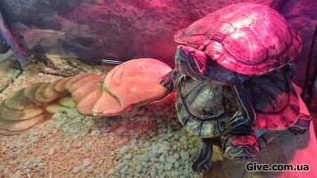 красноухих черепах